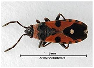 Baltimore Bug